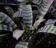 Vriesea splendens (Brongn.) Lem.