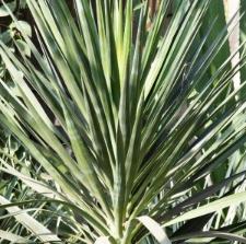 Yucca aloifolia L.