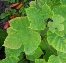 Ampelopsis humulifolia Bunge