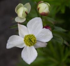 Anemone narcissifolia L.