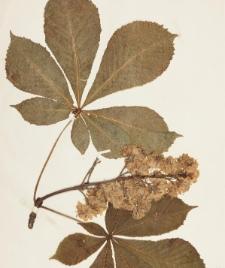 Aesculus hippocastanum f. flore albo pleno Hort.