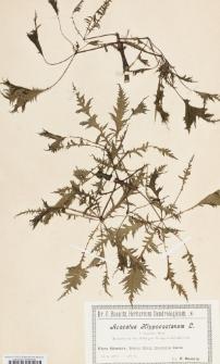 Aesculus hippocastanum L. f. laciniata Hort.