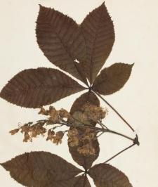 Aesculus hippocastanum x pavia