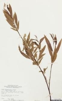 Salix arbusculoides Andersson
