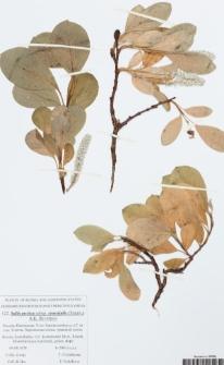 Salix arctica subsp. crassijulis (Trautv.) A.K. Skvortsov