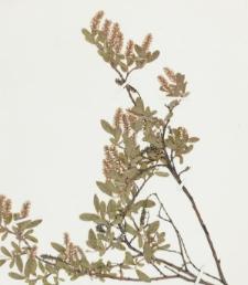 Salix brachycarpa subsp. niphoclada (Rydb.) Argus