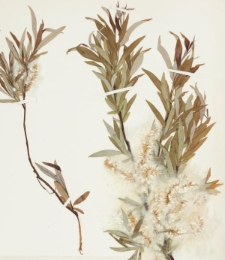 Salix boganidensis Trautv.