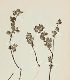 Salix cinerea L.