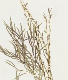 Salix caspica Pall.