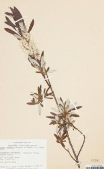 Salix candida Flüggé ex Willd.