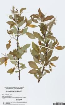 Salix discolor Muhl.