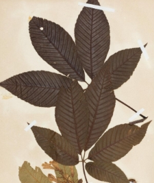 Aesculus neglecta Lindley