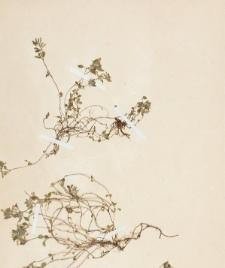 Calamintha alpina (L.) Lam.
