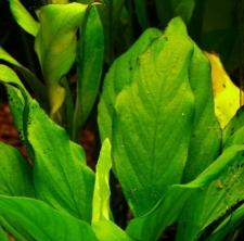 Anubias heterophylla Engl. fo. undulata