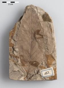 Ulmus pyramidalis Göpp.