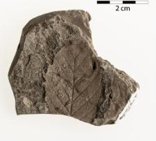 Carpinus grandis Unger