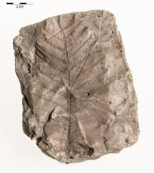 Quercus gigas Göpp. emend. Walther & Zastawniak