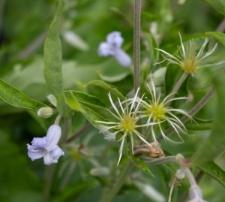 Clematis ×bonstedtii Wehrh.