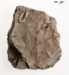 Platanus leucophylla (Unger) Knobloch