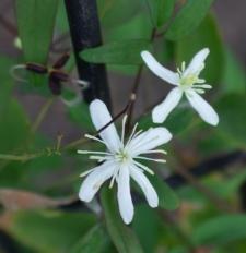 Clematis ×stricta Wender.