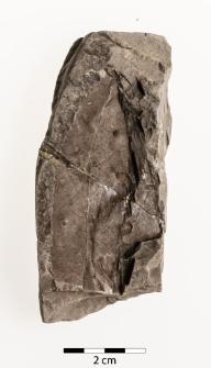 Pterocarya paradisiaca (Unger) Iljinskaja