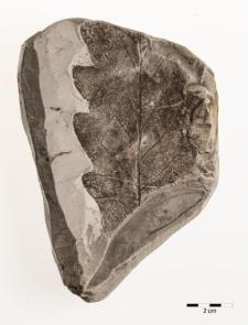 Quercus pseudocastanea Göpp. emend. Walther & Zastawniak