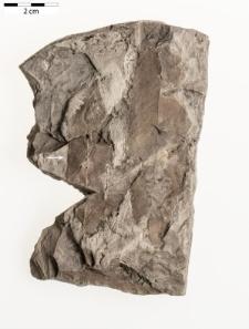 Acer aegopodifolium (Göpp.) Baikovskaja ex Iljinskaja