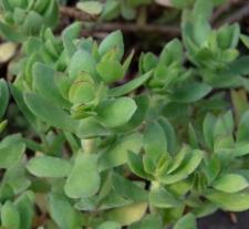 Crassula pubescens Thunb. subsp. rattrayi (Schönland et Baker f.) Toelken