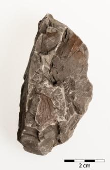 Carpinus betulus L. fossilis Engelhardt et Kinkelin