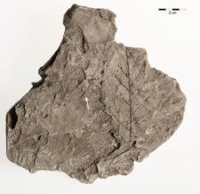 Betula similis (Göpp.) Zastawniak & Walther