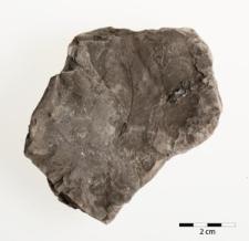 Ulmus carpinoides Göpp.