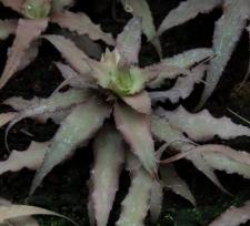 Cryptanthus 'Glad'