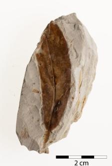 Salix varians Göpp.