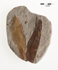 Betula longisquamosa Mädler