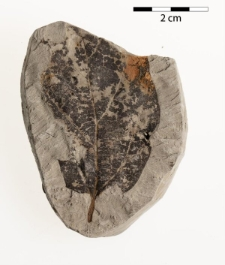Parrotia pristina (Ett.) Stur