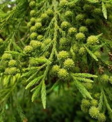 Cryptomeria japonica (Thunb. ex L. f.) D. Don