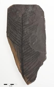 Walchia piniformis Sternberg