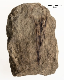 Frenelopsis sp.
