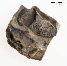 Byttneriophyllum tiliaefolium (Al. Braun) Knobloch et Kvacek