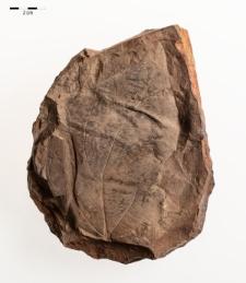 Büttneria aequalifolia (Goepp.) Mey.