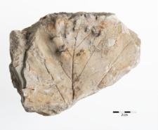 Platanus aceroides Goeppert