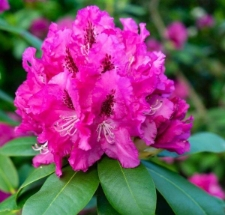 Rhododendron 'Donar'