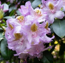Rhododendron 'Holger'