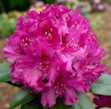Rhododendron 'Myrte'