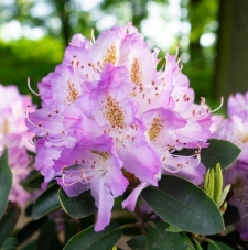 Rhododendron 'Gisela'