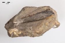 Aviculopinna prisca Münster 1839 Pinna prisca