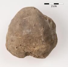 Linoproductus lineatus