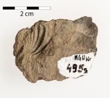 Betaneospirifer cf. ambiensis Waagen 1883