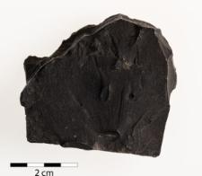 Lingula credneri Geinitz 1848