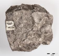 Dictyoclostus semireticulatus Martin 1809
